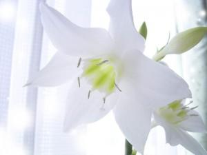 White-Lily