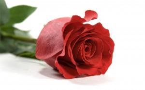 single-red-rose