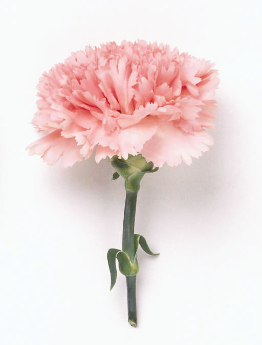 single_carnation_pink