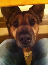 Puppy begging for turkey dinner
