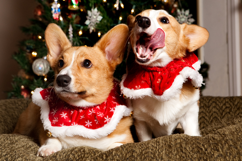 welsh-corgi-christmas-card-photo-outtakes-1