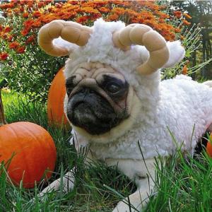 Ram Pug