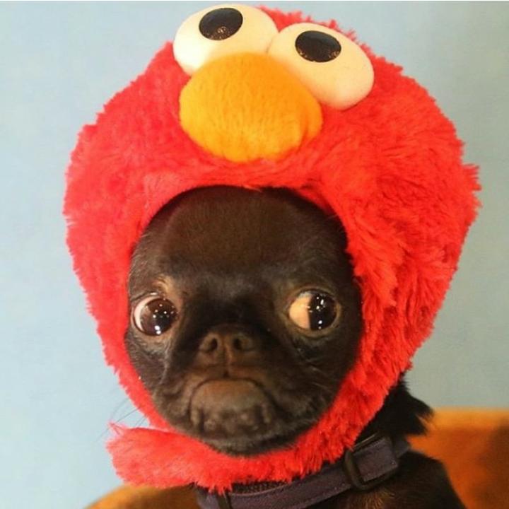 tickle me elmo pug - Pugs Halloween