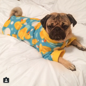 The Most Photogenic Pugs On Instagram Unbelievab Ly