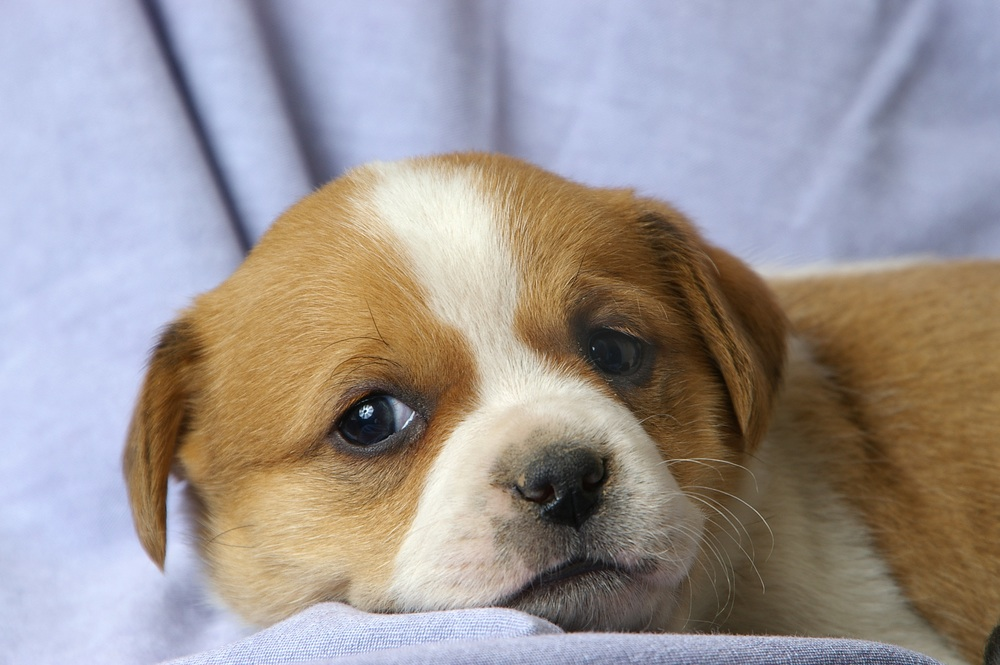 young puppy shutterstock_1411264